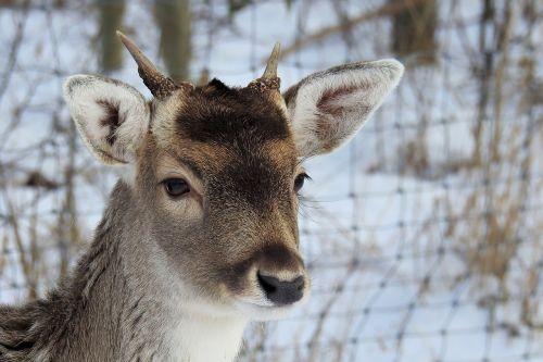 hirsch antler fallow deer