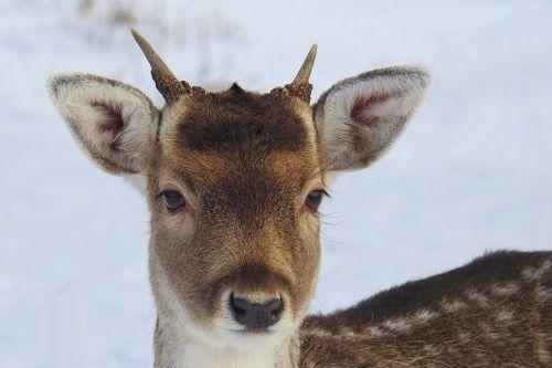 hirsch young deer fallow deer