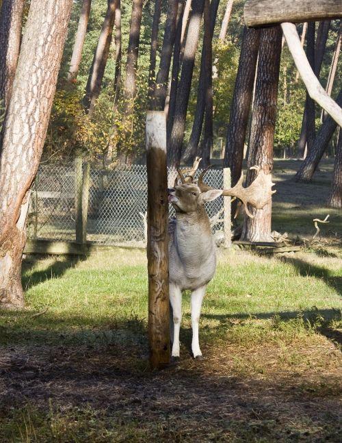 hirsch fallow deer forest
