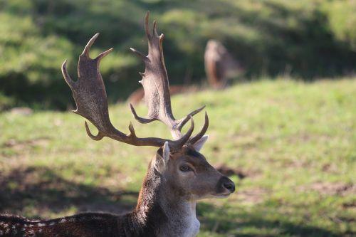 hirsch fallow deer antler