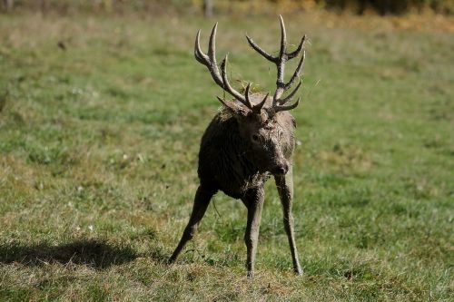 hirsch antler red deer