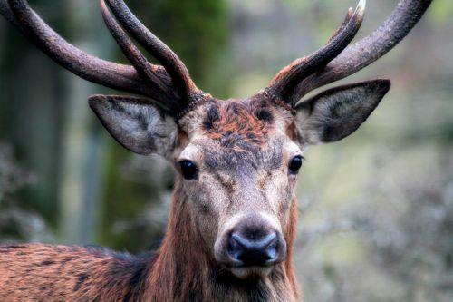 hirsch mammal animal world