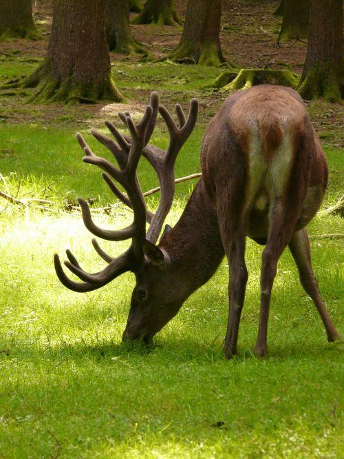 hirsch red deer animal
