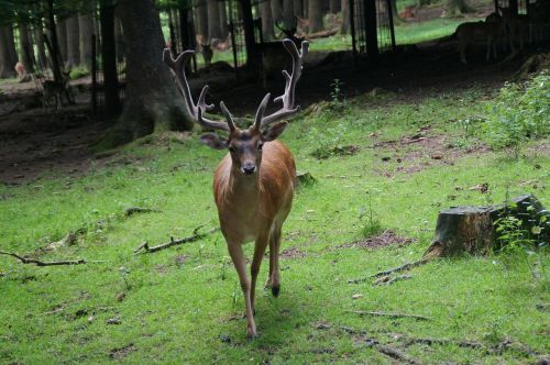 Hirsch,antler,miškas,konfrontacija