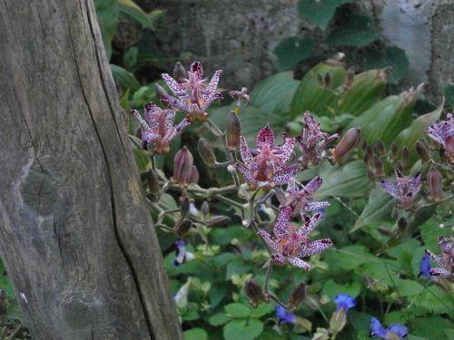 hirta liliaceae autumn flowers