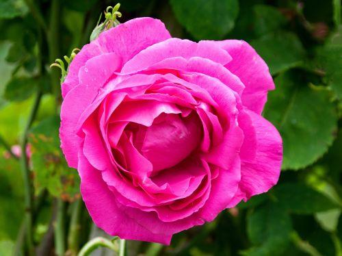 historic rose ulrich brunner fils flowers