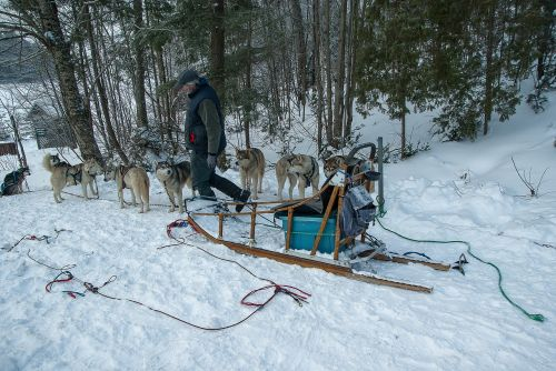 hitch sled dogs sled