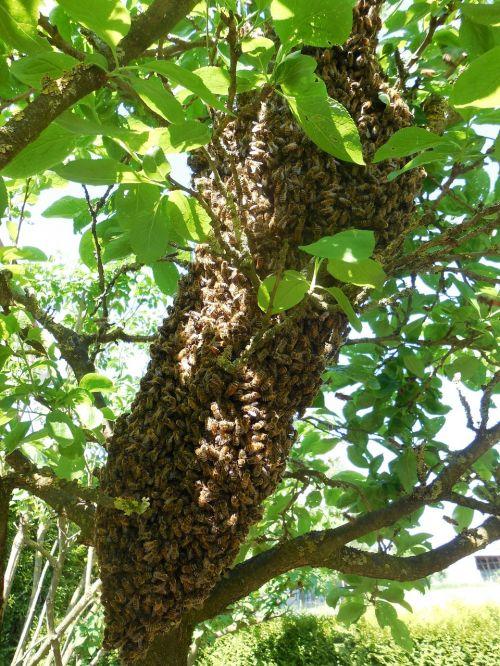 hive bees tree