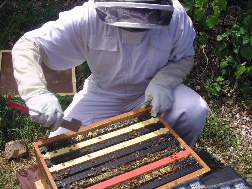 hive apis mellifera
