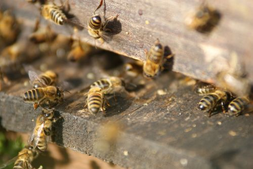 hive bees beekeeper