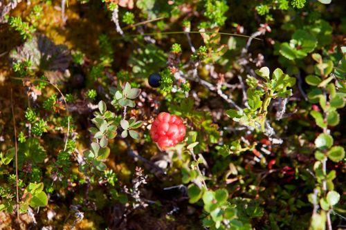hjortron chicoutai berries cloudberries