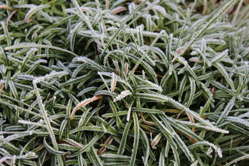hoarfrost grass frozen
