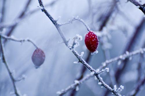 hoarfrost winter wild rose