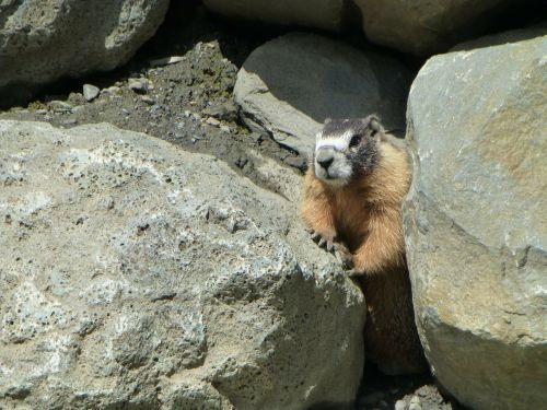 hoary marmot rodent
