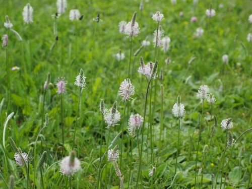 hoary plantain plantain wild flower meadow