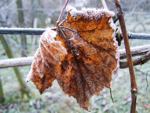 hoary vine leaves rime winter