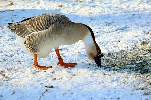 höcker goose  winter  feed