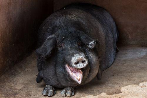 hog pig animal