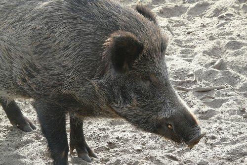 hog  zoo  animal world