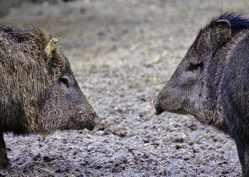 hog mammal animal