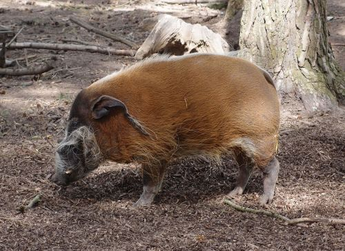 hog pig wildlife