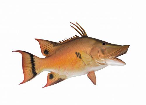 Hog Snapper Fish Mount