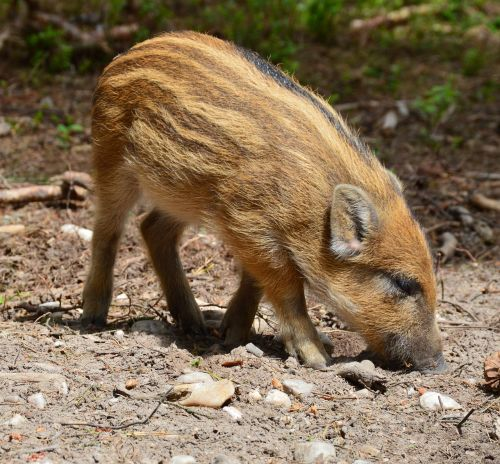 hog wild piglet animal