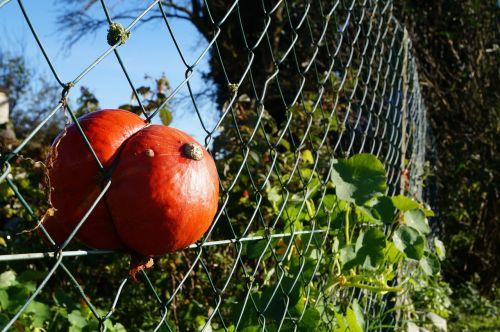 hokkaido pumpkin autumn