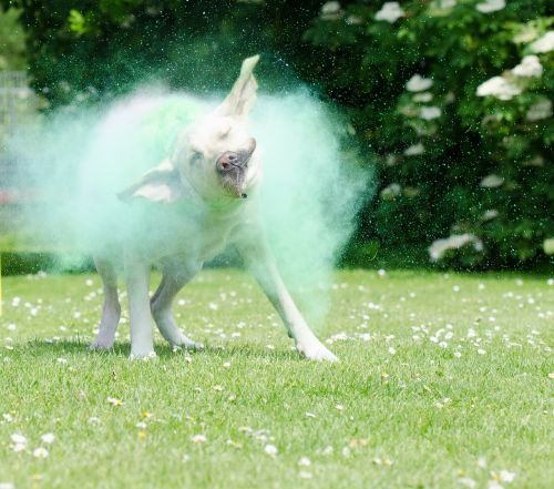 holi colors,colorful,dog,labrador,color mist,holipulver,color,color powder