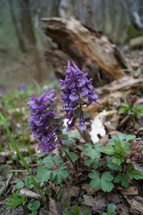 hollow corydalis forest spring
