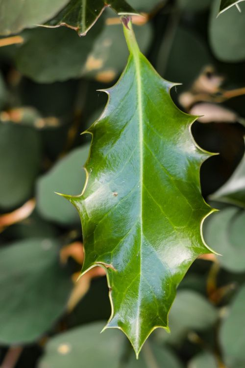 holly ilex leaf