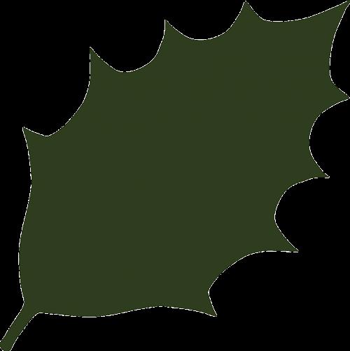 holly ilex aquifolium ilex