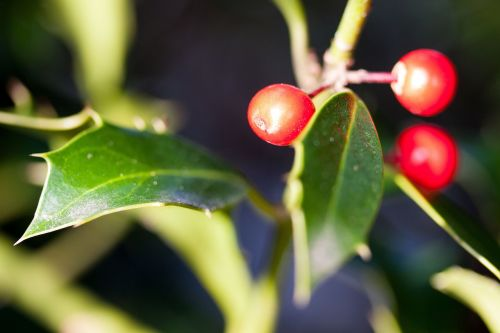 holly ilex winter berries