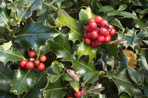 holly ilex aquifolium ordinary holly