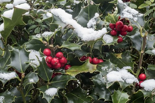 holly ilex aquifolium snow