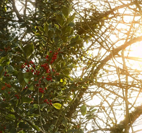 holly  nature  berries