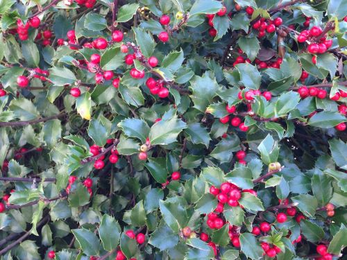 holly holly berries berry