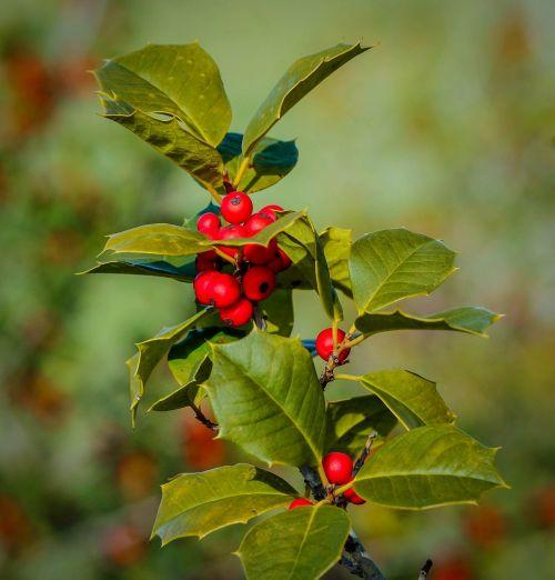 holly ilex berries