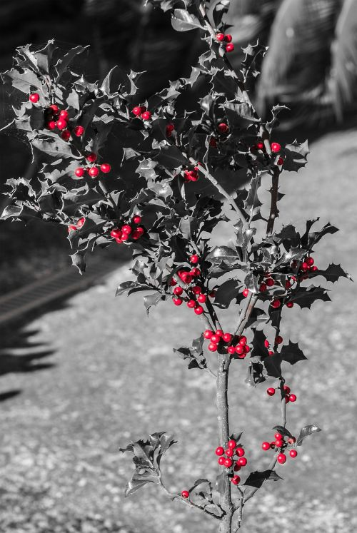 holly red balls plant