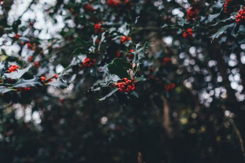 holly berries yuletide holly berries holly