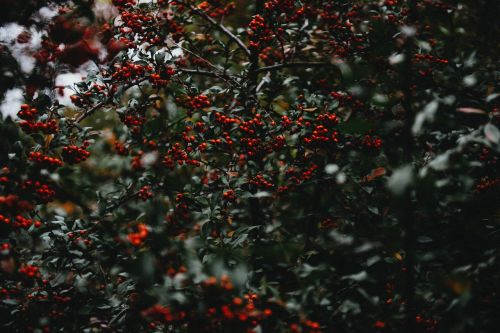 holly berries berries christmas holly