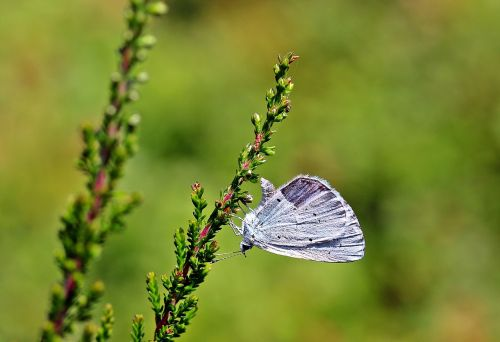holly blue,celastrina argiolus,butterfly,butterflies,insect,wing,sitting on heather ast,rest,nectar search,nature,animal