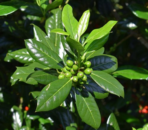 holly with green berries holly plant