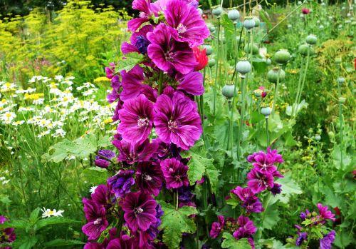 hollyhock plant flower