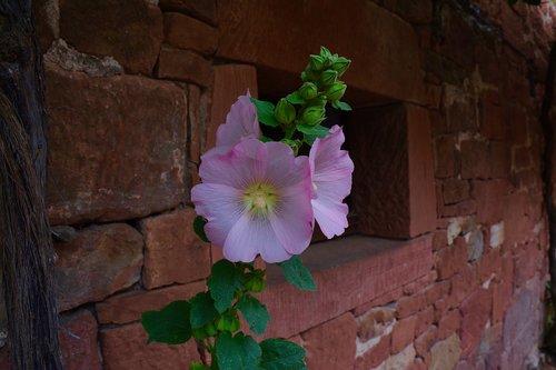 hollyhock  pink  flower