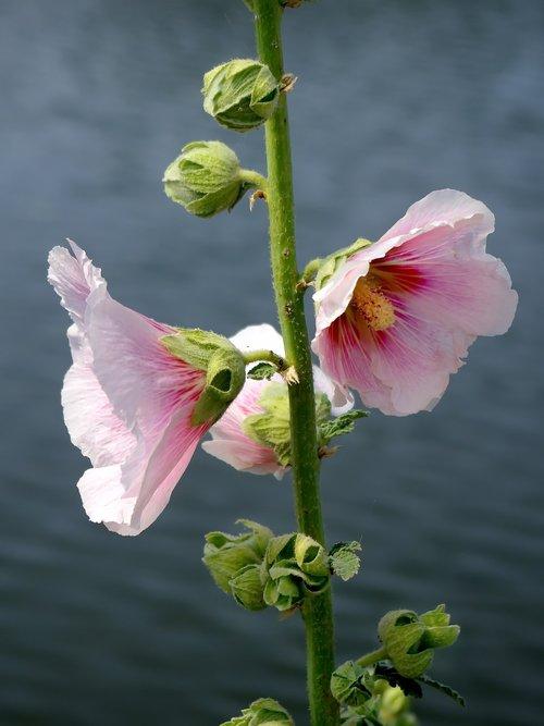 hollyhock  alcea rosea  primerose