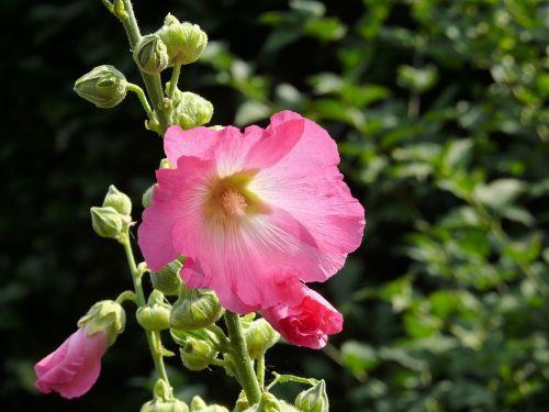 hollyhock flower rose