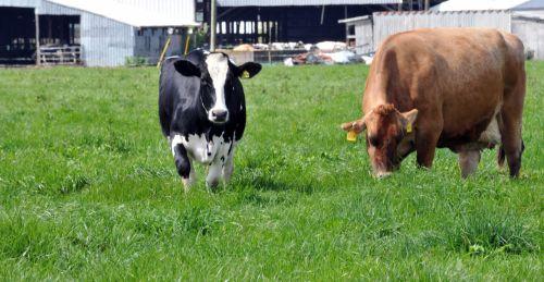 karvė, Holšteinas & nbsp, karvė, Džersis & nbsp, karvė, karvės, galvijai, pieva, pieno, ūkis, gyvūnas, Holšteino ir Džersio karvė