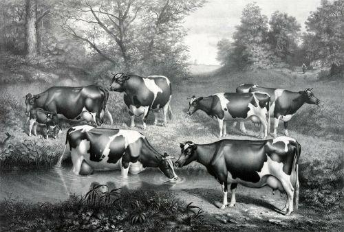 holstein fresian cows fresian cows cow