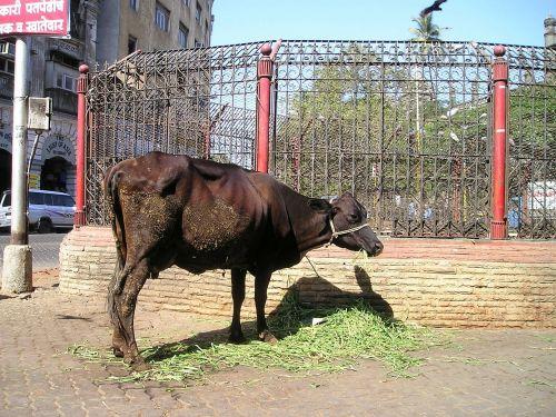 šventas,karvė,galvijai,Indija,Mumbajus,bombėjaus